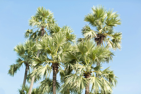 sugar palm: Group of sugar palm trees isolated with clear sky background