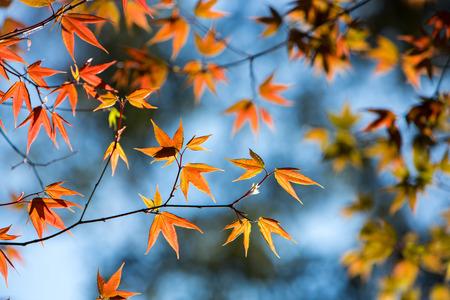 backlit: Colorful maple leafs backlit against blue sky taken at Phu hin Rong kla national park, Thailand