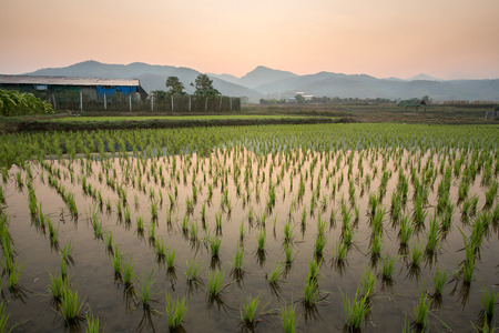 ricefield: Paddy field in countryside of Thailand Stock Photo