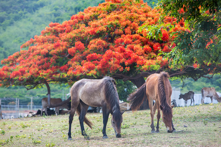 nibbling: Horses are nibbling grass with a herd of cow and blooming red tree in the background