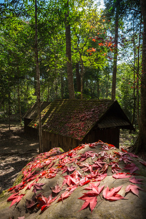 abandon: Abandon log cabins in the forest with selective focus on the red maple leafs on the rock, Phu hin rong kla national park, Thailand.
