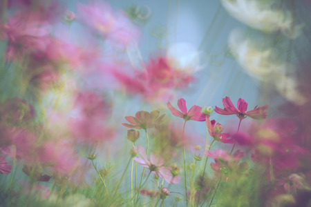 Colorful cosmos field with selective soft focus in pastel tone.