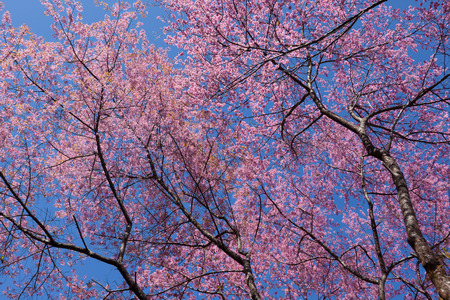 Sakura , cherry blossom, tree with leafless branches against blue sky.