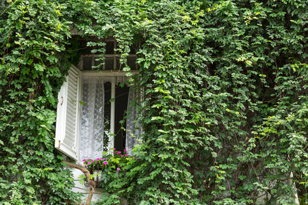 velcro: Windows of a country white wooden home with a ivy hiding, covered in full. Stock Photo