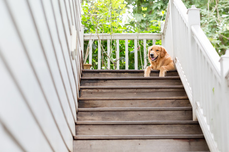 wooden stairs: A big golden retriver guarding a stranger on top of the stair. Stock Photo
