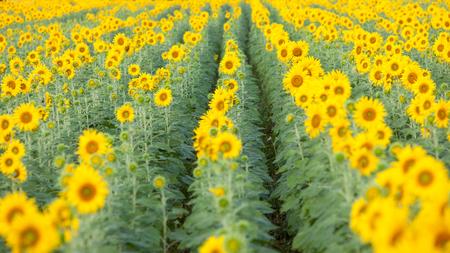 vast: Colorful and vast sunflowers field , Saraburi, Thailand.