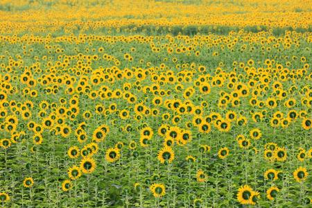 Colorful and vast sunflowers field , Saraburi, Thailand.