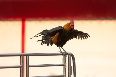 crow: Rooster is flapping and crowing on the aluminum fence. Stock Photo