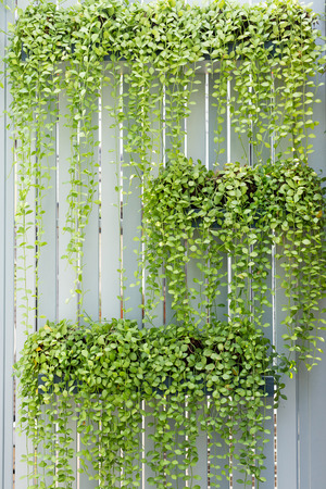 White Lath blinder with hang green climber pots.