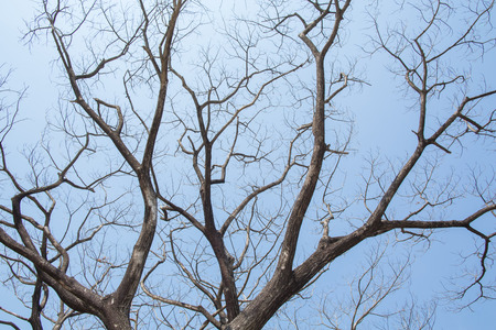 Giant leafless tree against clear blue sky shoot from low angle.