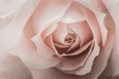 pale color: Closeup of a pink rose with pale color and selective focus.