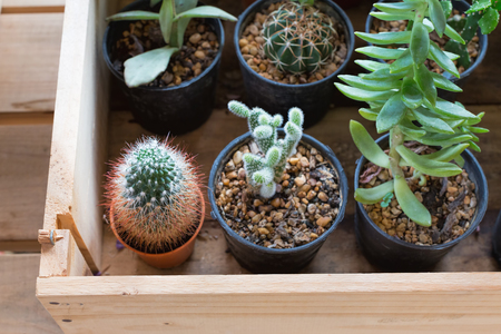 drought    resistant plant: Small cactus pots inside a wooden tray.