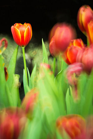 reflex: Red tulips field against dark background with selective focus taken with reflex lens.