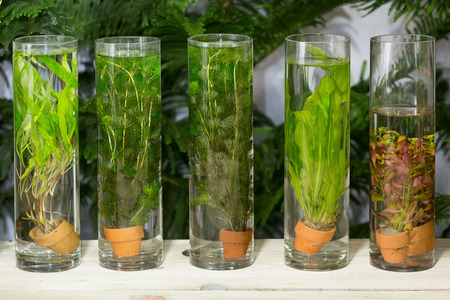 Green algae planted in long glass tubes decorated on table in backyard garden. Stock Photo