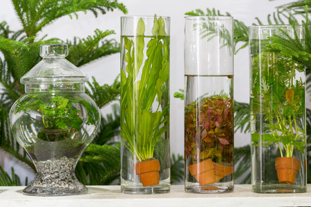 planted: Green algae planted in long glass tubes decorated on table in backyard garden. Stock Photo
