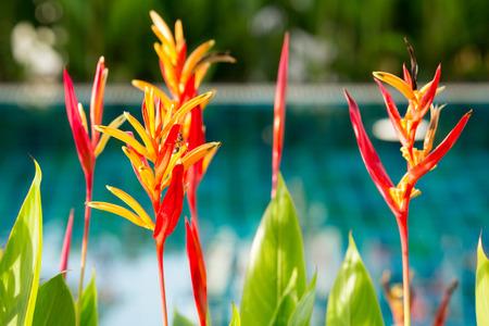 swiming: Bird of paradise flower decorated beside swiming pool Stock Photo