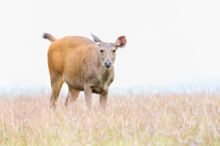 mule deer: Small deer grazing green grass on glass land covered with wild flower.