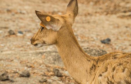 siamensis: Brow-antlered deer