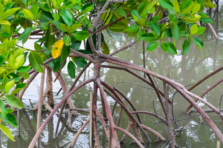 bracing: Mangrove leaves a large tree 25-35 m high. The root system has a tap root, root out extra over the base 3-8 m. Root stem or root branching stems bracing lumber disorder. Stock Photo