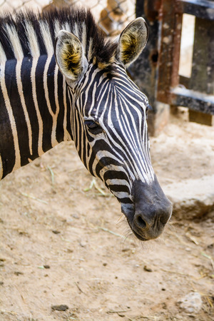 however: Zebra is one of the smaller species of horse riding. However, a tail like a donkey A short mane-like bristles feature is a white body and black throughout the body.