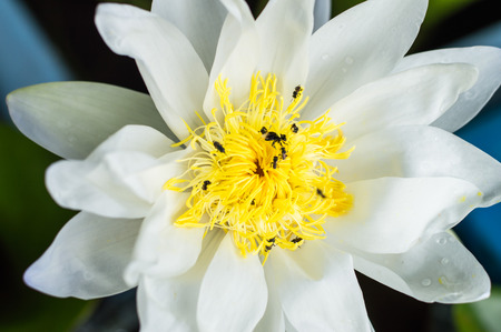 corbel: lotus