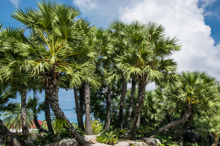 cycas: Palm garden.The garden of palm trees with different shapes and sizes as well as shrubs. Stock Photo
