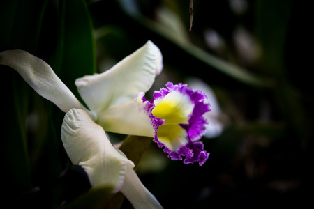 cattleya: Cattleya.Is a genus of flowering plants in the orchid family.