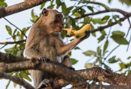 marmoset: Monkey eating banana.