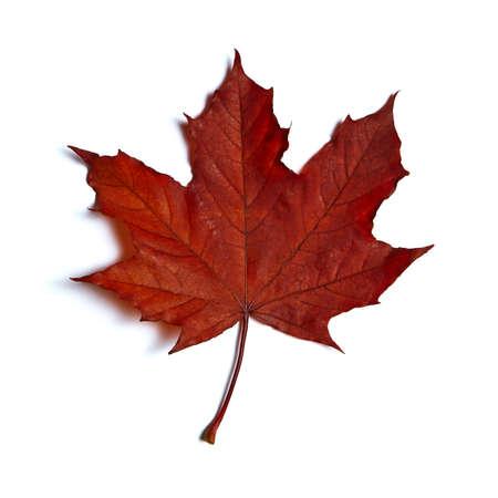 hojas de arbol: Hoja de arce roja sobre fondo blanco aisladas Foto de archivo