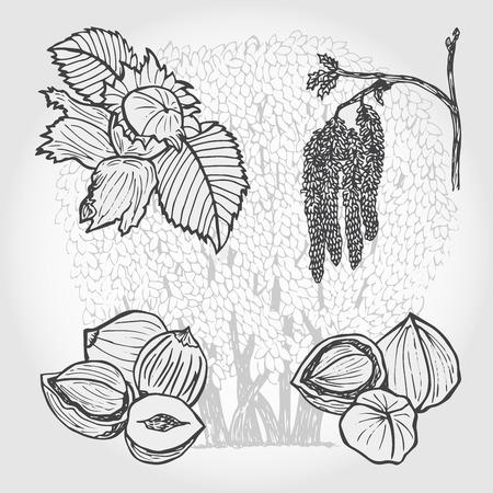 hazelnut tree: Hazelnut, tree and nuts, vector sketch illustration Illustration