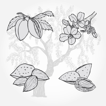 Mandorla, albero e noci, illustrazione vettoriale Sketch Vettoriali