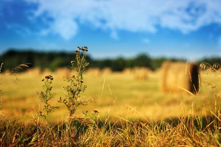 Dry flower on harvesting field landscape  photo