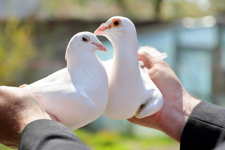 breeders: Two white pigeons in the hands of breeders Stock Photo