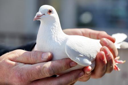 Witte duiven in handen van fokkers Stockfoto