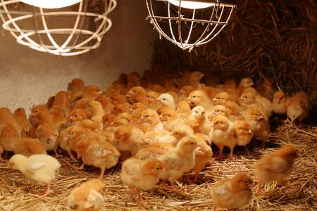 Newly hatched little chicks on a chicken farm heated by lamps