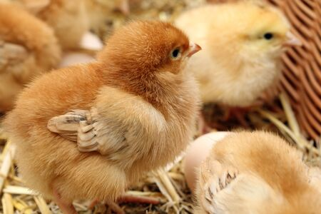 Newly hatched little chicks on a chicken farm