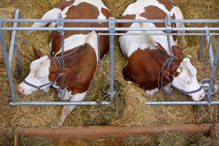 Brown cows resting in the stable on farm