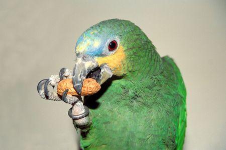 Pet orange-winged Amazon parrot eating a peanut photo
