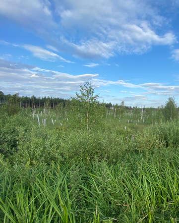 Swamps near WÅ'odawa with broken birches