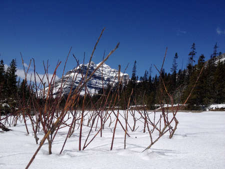 Landscape with snow in the Canadian Rocky Mountains. Even in May. Green needle wood and deep blue sky. In the background a beautiful snow covered peak.