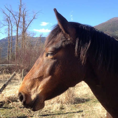 Portrait of a brown horse standing in a meadow in Canada. The Rocky Mountains are in the background Standard-Bild