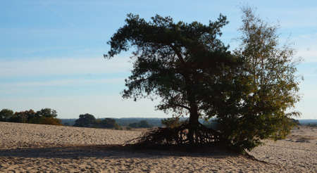 A pine tree and a birch are standing lonely in a drifting sand area. 'Kootwijkerzand' is in the Netherlands and the largest drifting sand area in Europe. It's breathtaking beautiful and worth a vis