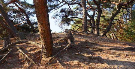A group of pine trees in the sunlight on top of a sand dune. This dune is part of a drifting sand area in the Netherlands. Standard-Bild