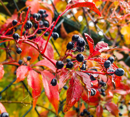 Berries and leaves of the red virginia creeper. The black berries contain toxic amounts of oxalic acid and are poisonous. Parthenocissus quinquefolia.Victoria creeper, five-leaved ivy, five-finger