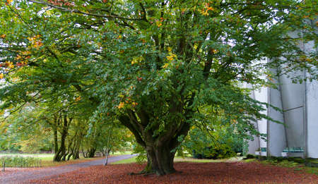 A very large and old beech tree. Huge beech. Deciduous tree. Must be hundreds of years old. The fallen autumn leaves are not removed yet.