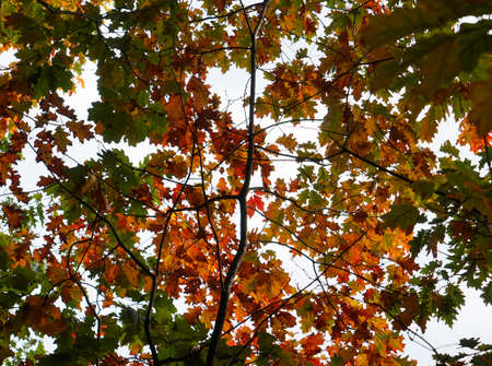 The top of a few deciduous American oaks. The sky is visible through the green and golden leaves. Tree crowns.