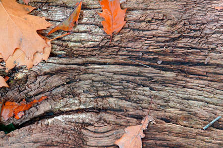 A piece of old wood with some oak leaves fallen on it. Brown background Standard-Bild