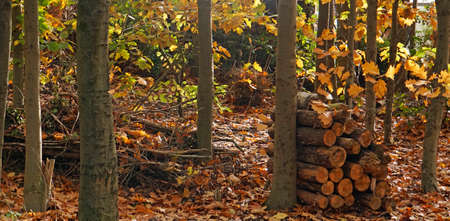 A scenic forest with American oaks. Nice autumn colored foliage. There is a pile of firewood.