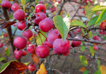 Small red apples from a crab apple tree in autumn. Malus Toringo