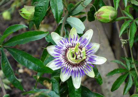 Close up of a Passion Flower (Passifloraceae). Passiflora caerulea in garden. Beautiful passion fruit flower. Flower buds and leaves